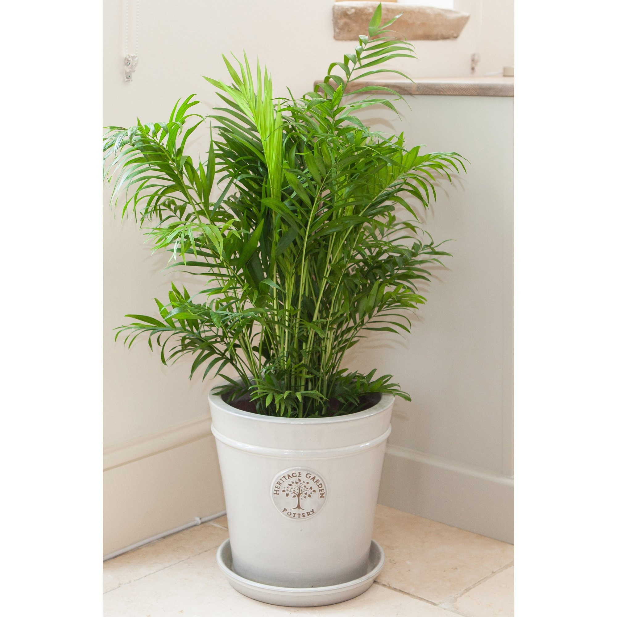 Image of Areca Palm 24cm Pot