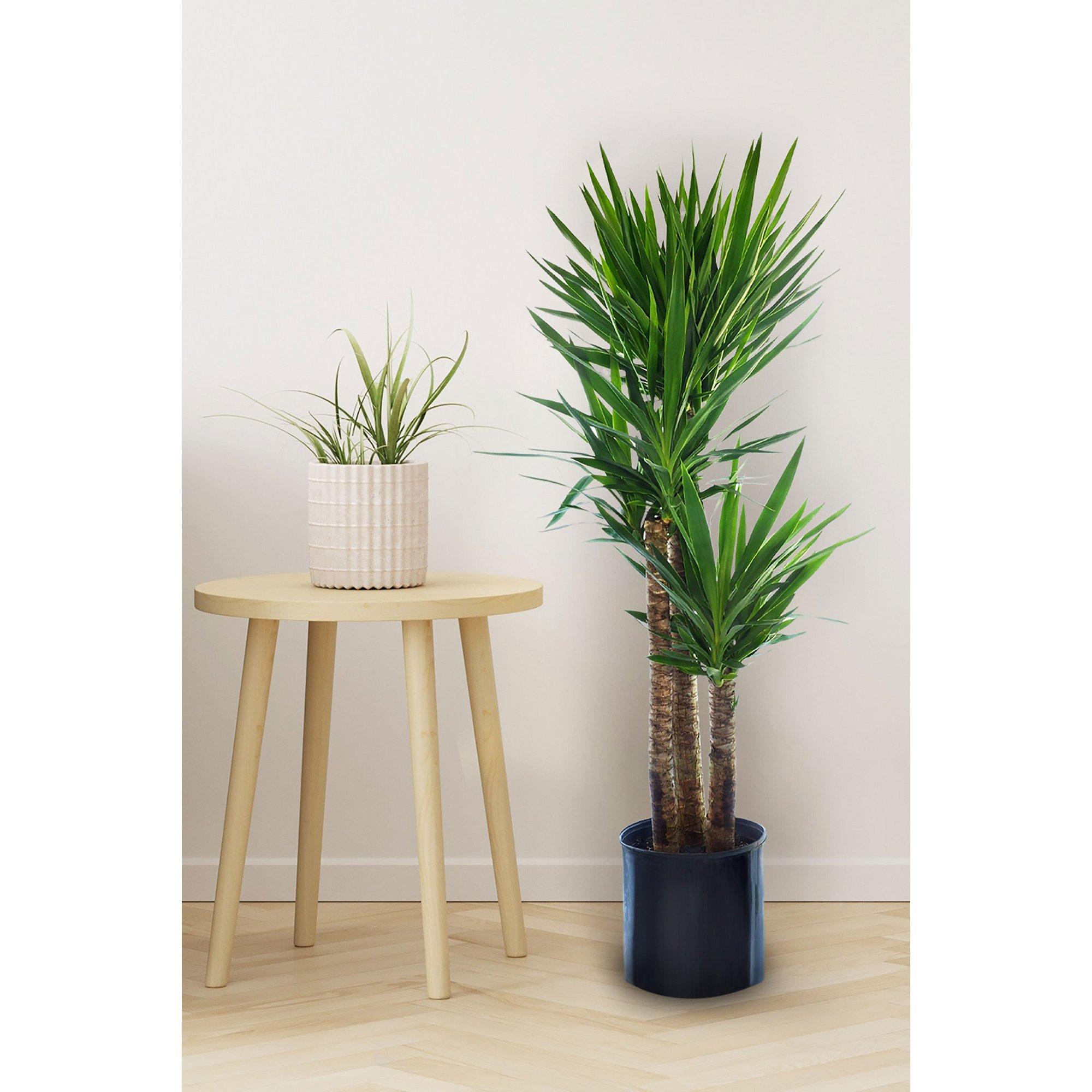 Image of 3 Stem Yucca in Pot