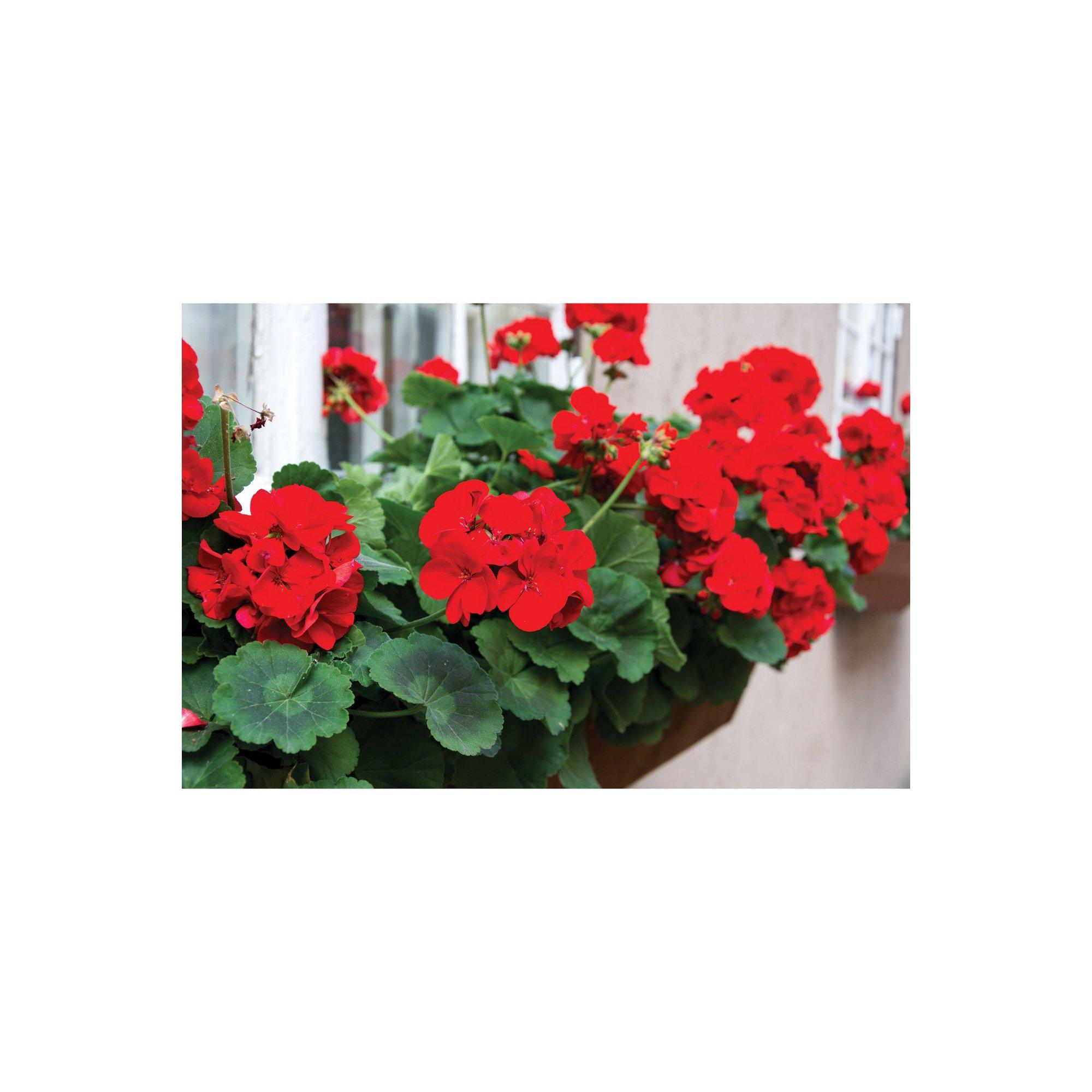 Image of 20 Geranium Cabaret Mixed Garden Ready Plants