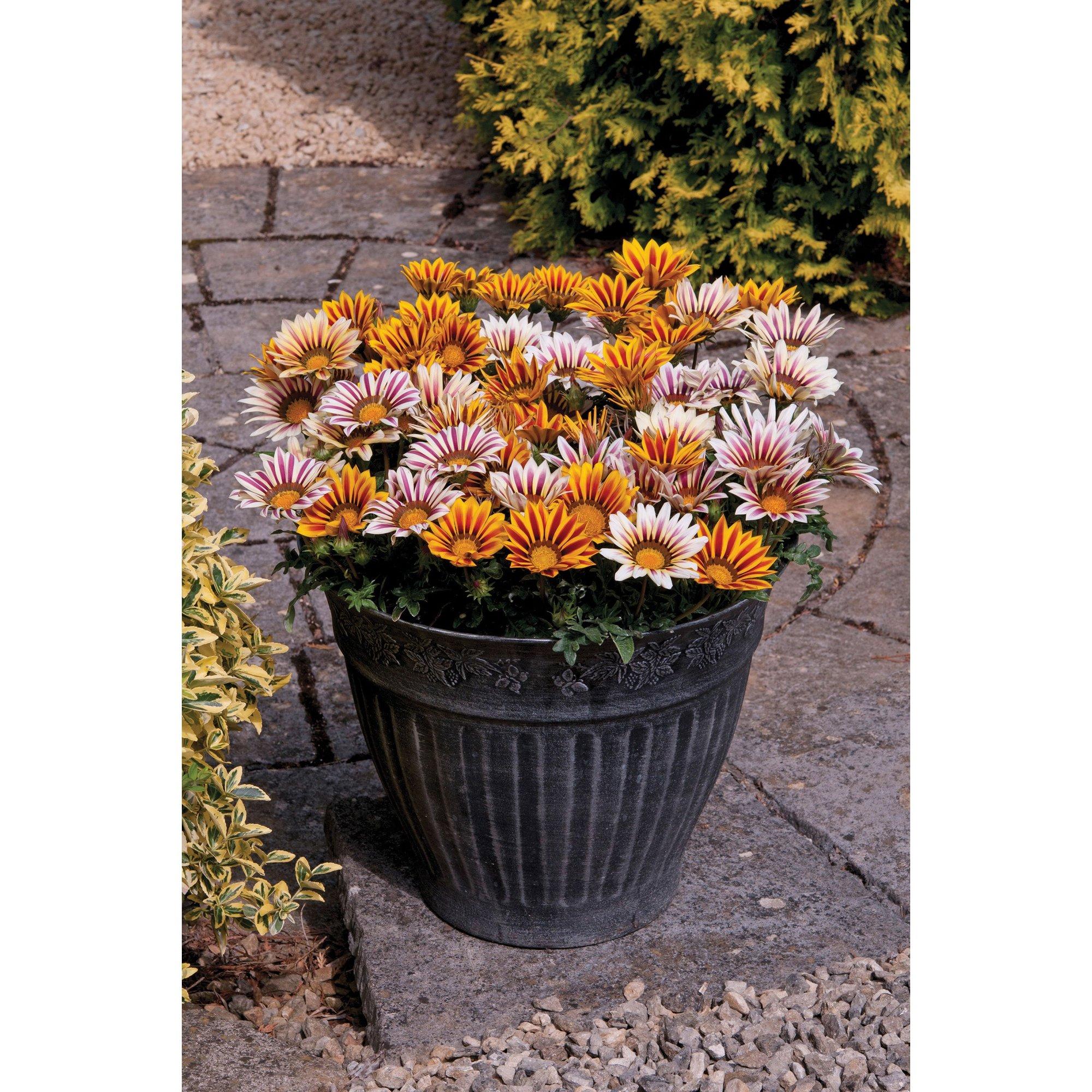 Image of 20 Gazania Tiger Stripes Mixed Garden Ready Plants