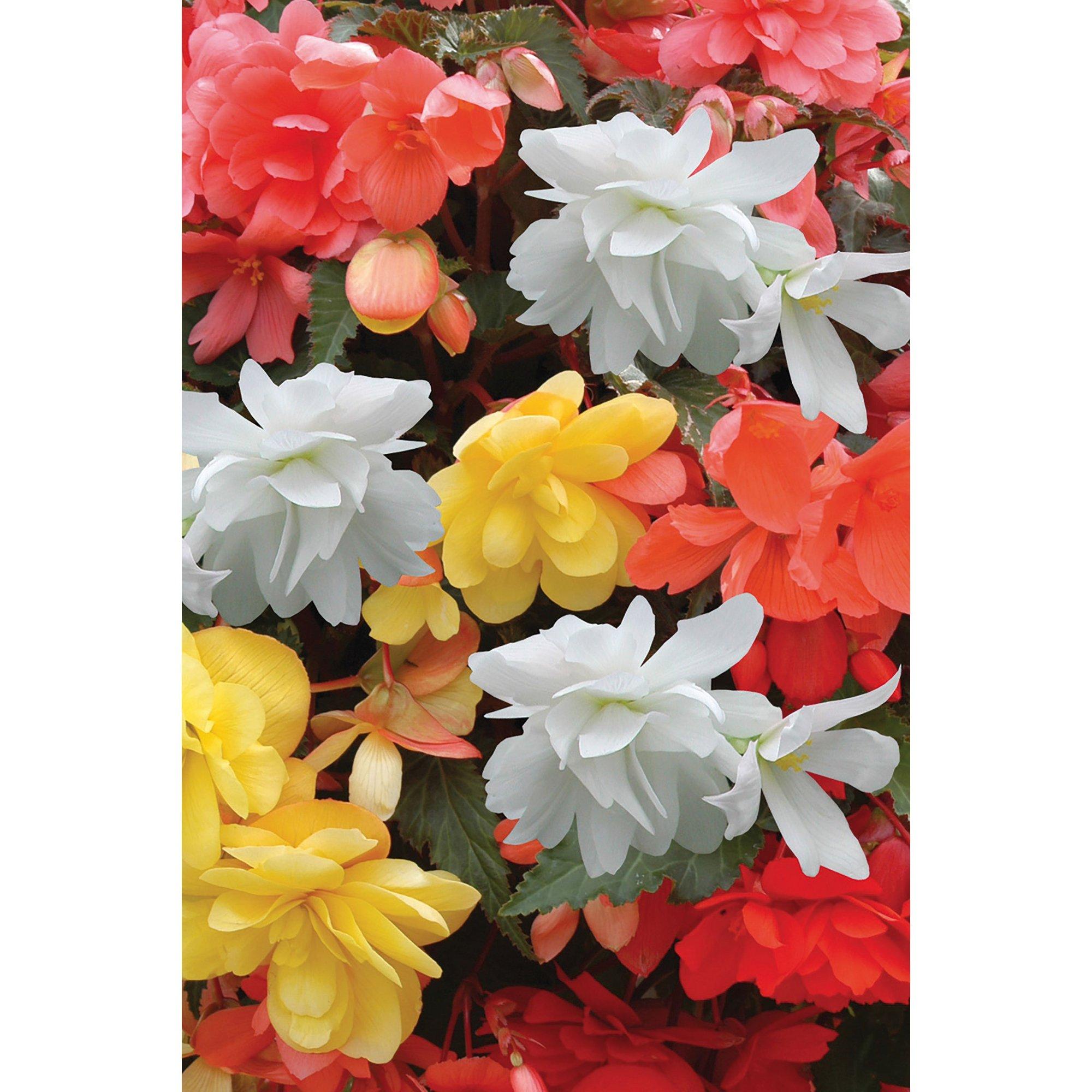 Image of 20 Begonia Illumination Mixed Garden Ready Plants