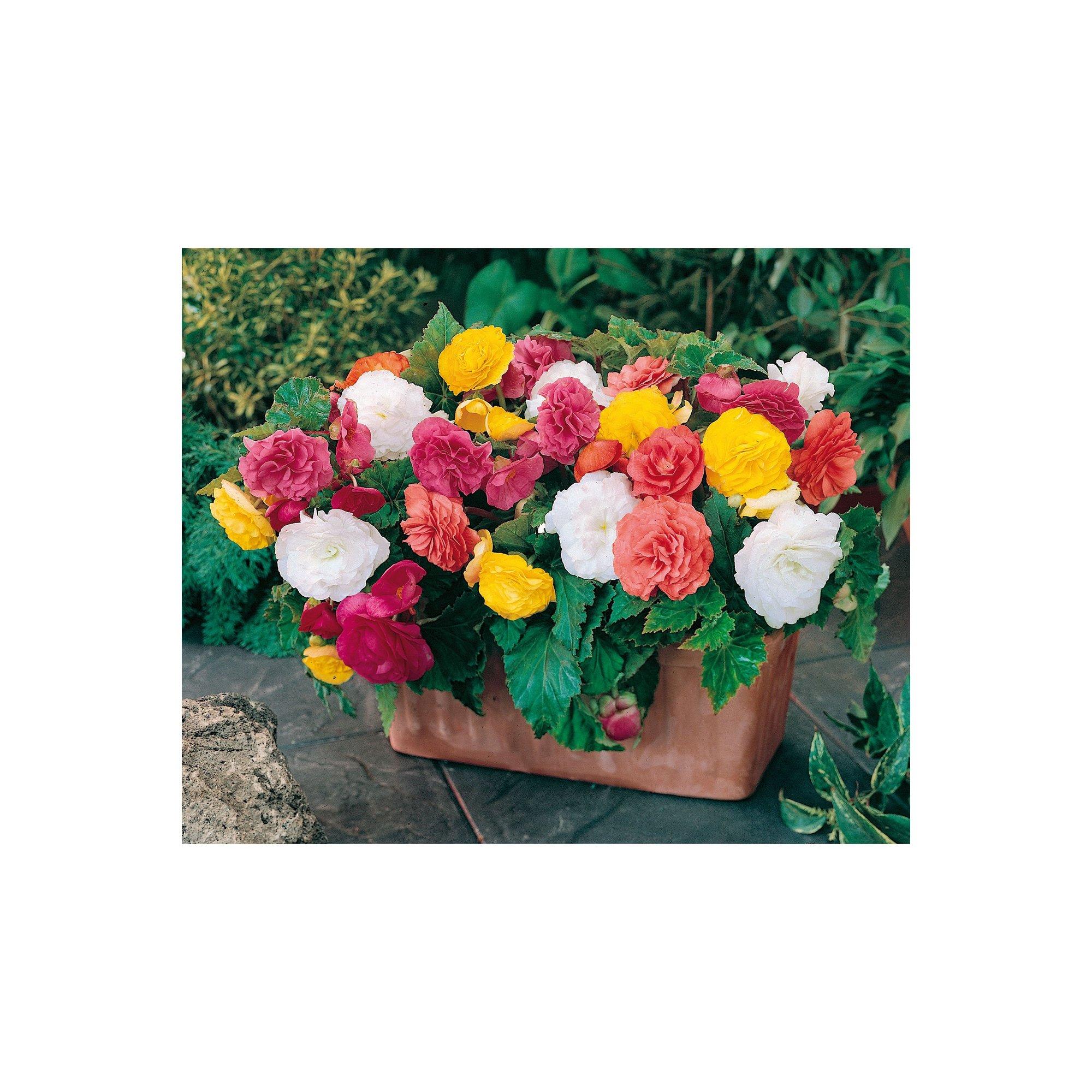 Image of 20 Begonia Non Stop Mixed Garden Ready Plants