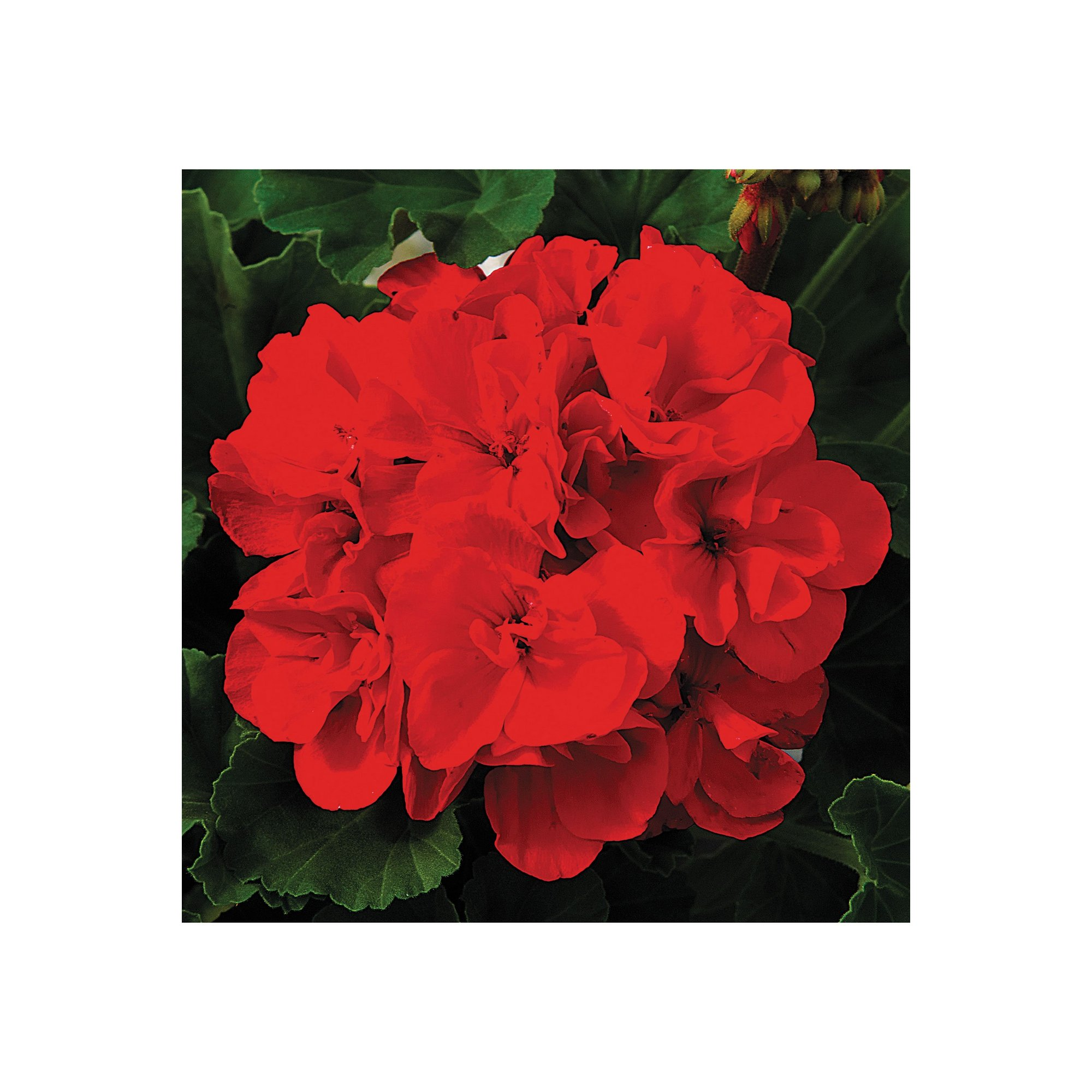 Image of 20 Geranium Ultimate Red Garden Ready Plants