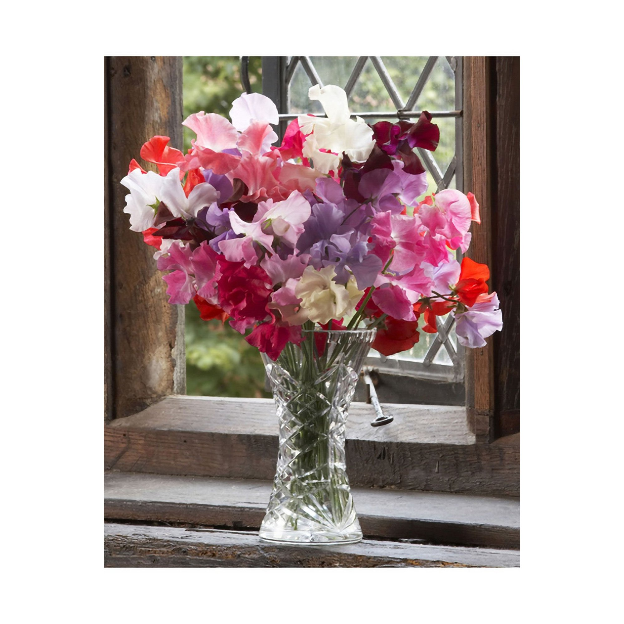Image of 12 Plug Super Fragrant Sweet Pea Collection