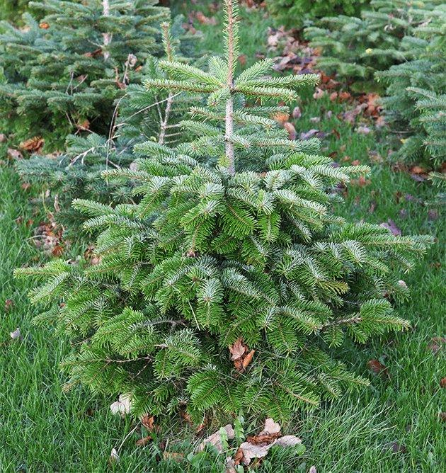 fun-facts-xmas-tree_fir-tree
