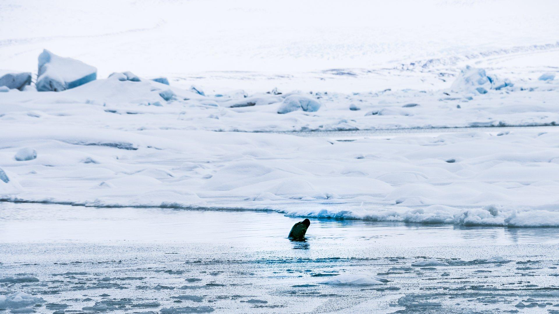 Seal popping it's head above the water on a freezing lake