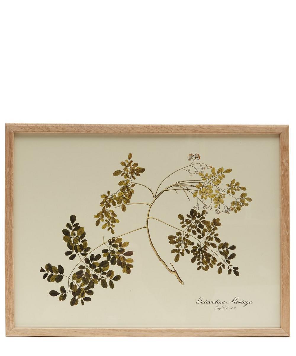 Guilandina Moringa Framed Print