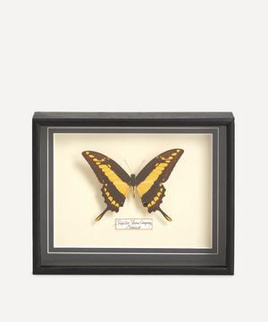 Papilio Thoas Cinyras Framed Butterfly