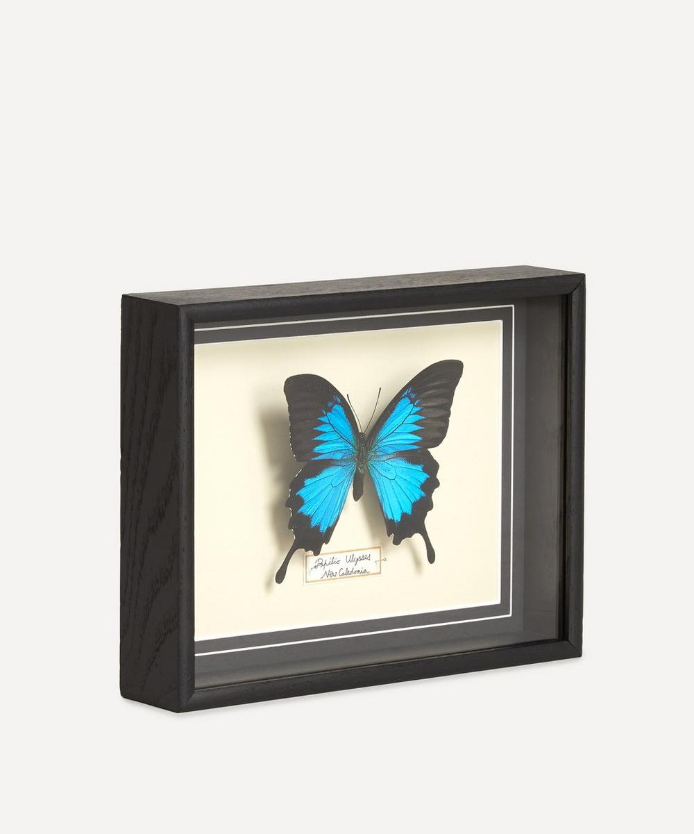 Papilio Ulysses Framed Butterfly
