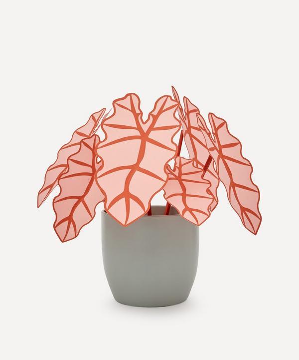 Brazen Botany - Large Pink Ear Elephant Plant