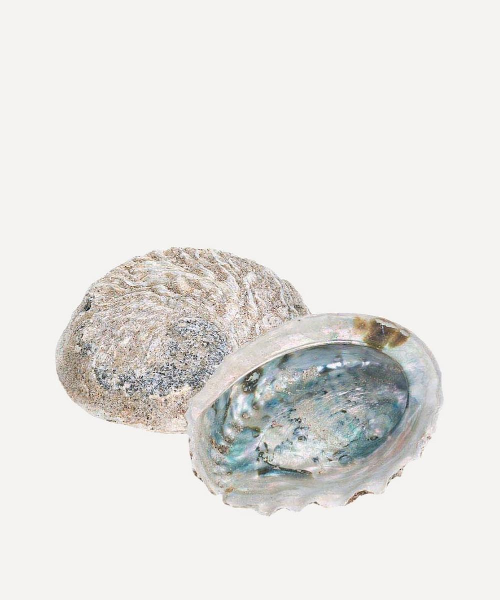 Large Rough Unpolished Abalone