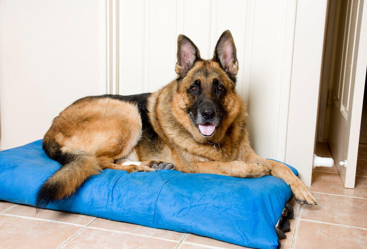 German Shepherd Choosing A Pet Pets At Home Pet Talk