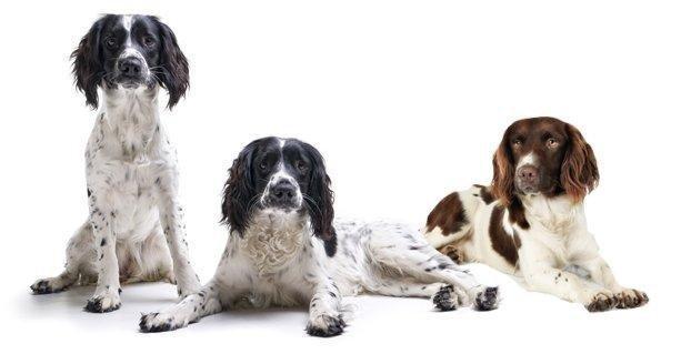 Springer Spaniel | Pets At Home