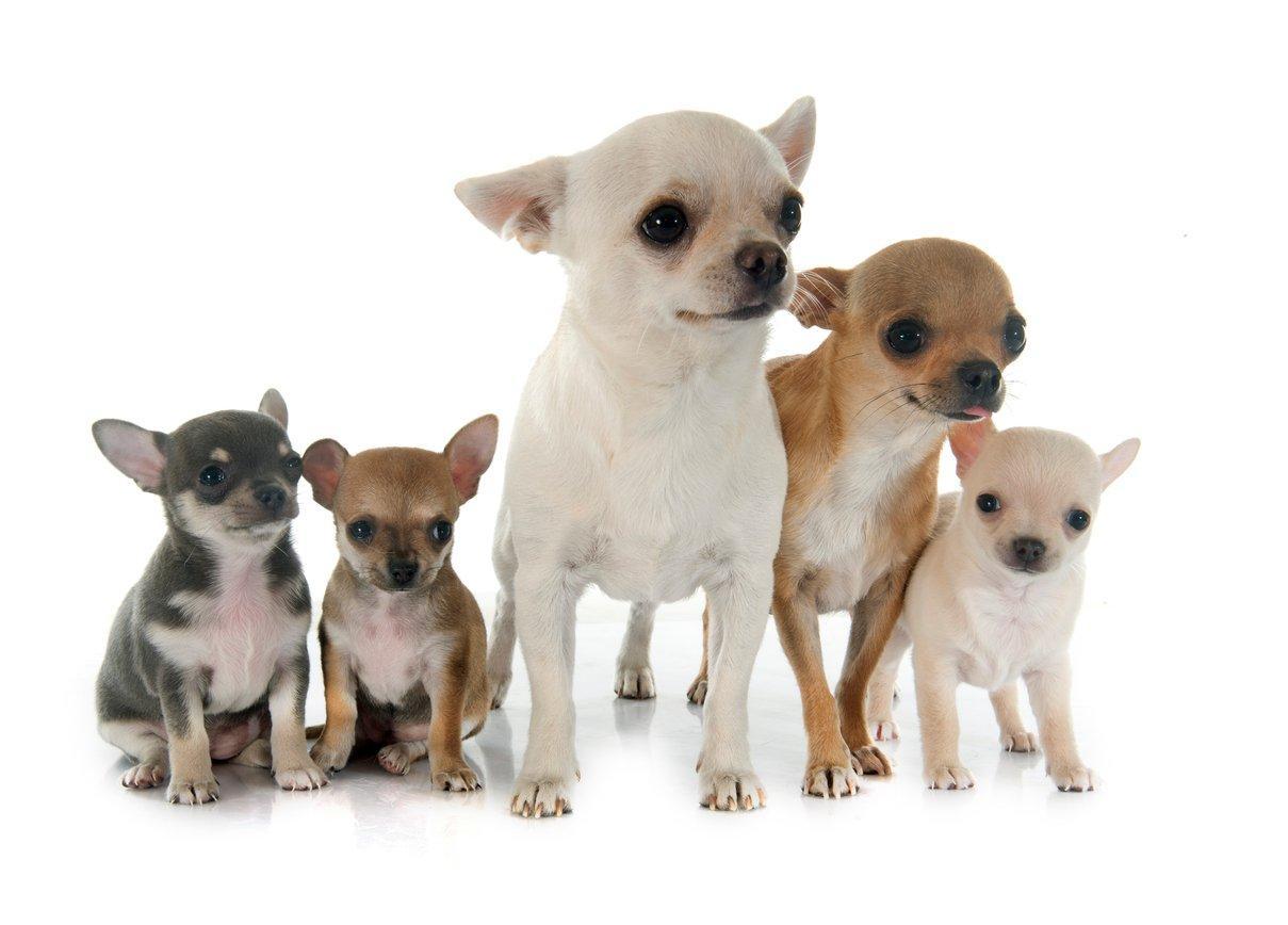 chihuahua pets at home