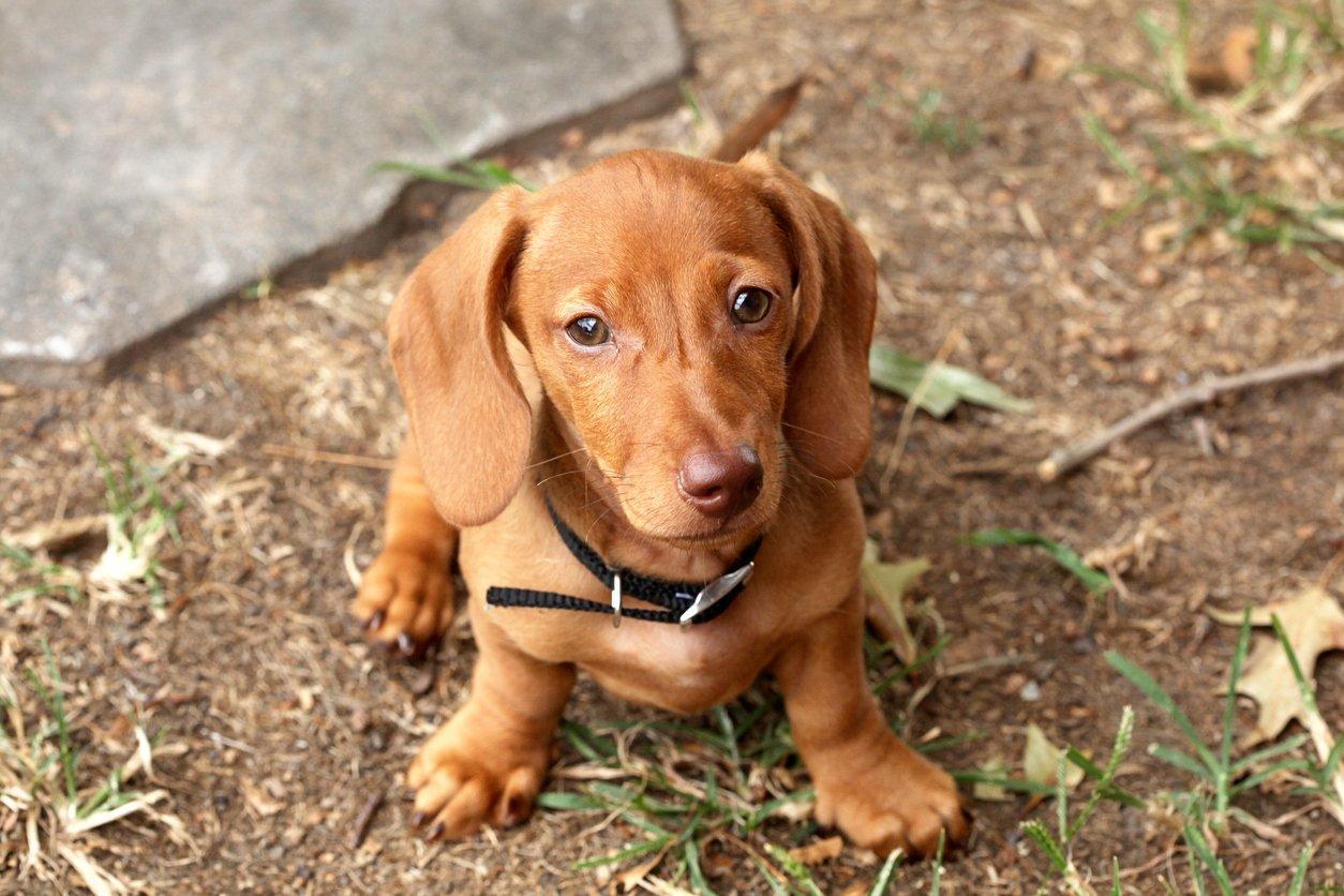 dachshund pets at home