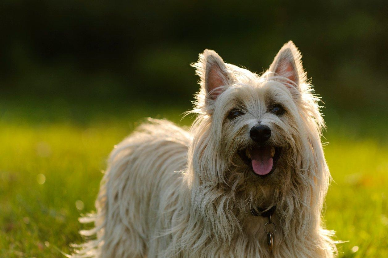 Cairn Terrier | Pets At Home