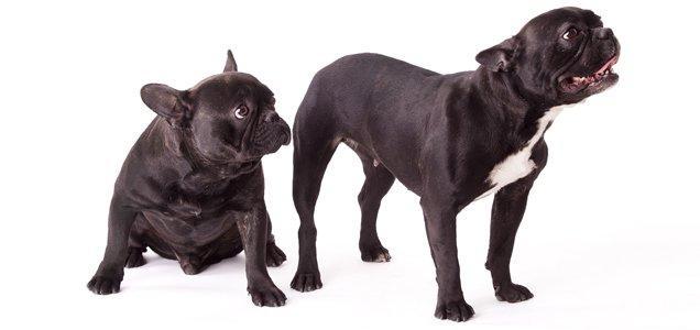 9f697b3f13f French Bulldog   Choosing a Pet   Pet Talk   Pets at Home