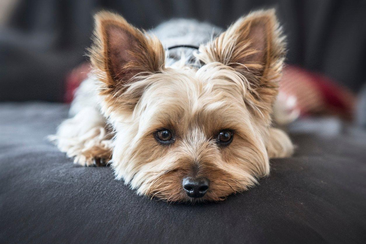 yorkshire terrier pets at home