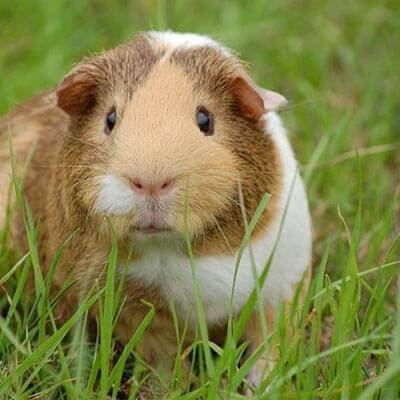 Guinea Pig Supplies Food Hutches Toys Pets At Home