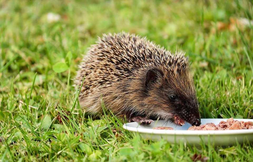 Wild Hedgehog Care Wildlife Care Pet Care Pet Talk