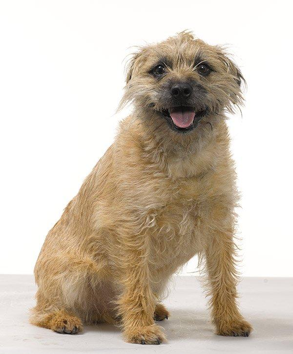 border terrier pets at home