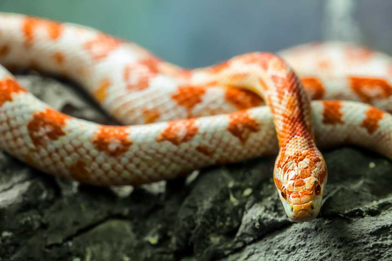 Pet Care Intro To Corn Snakes Pets At Home