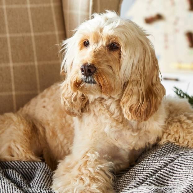 Christmas Dog.Christmas Pets At Home