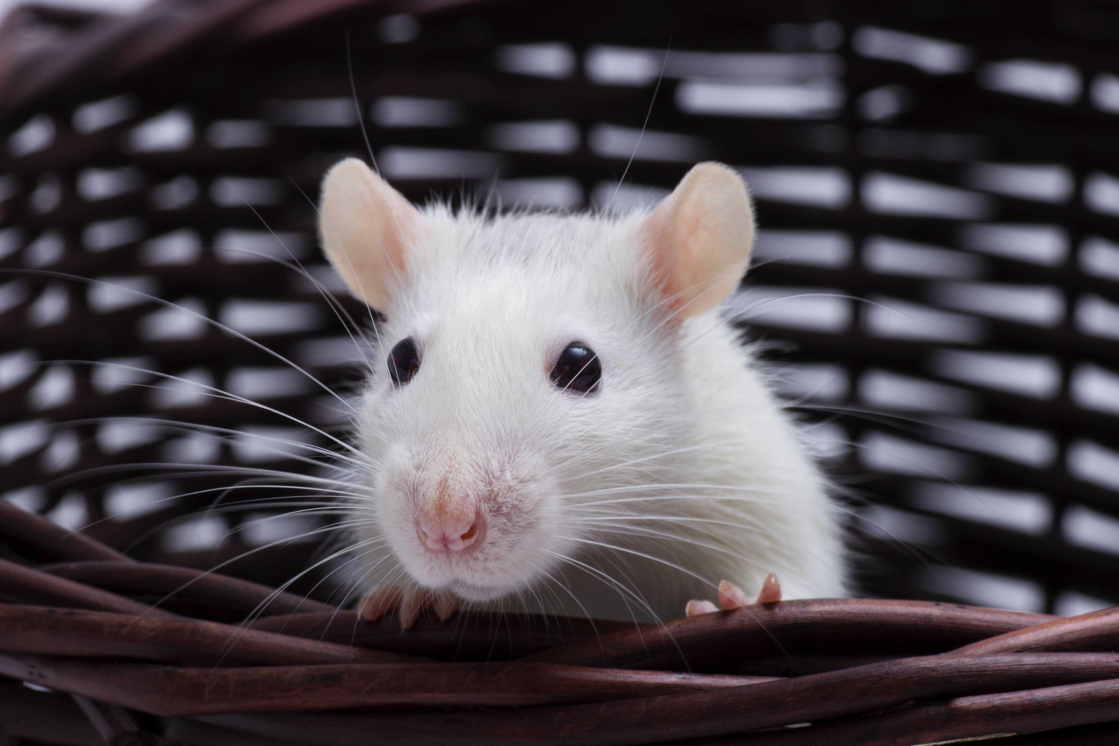 Choosing A Pet Rat Choosing A Pet Pet Talk