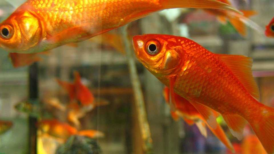 Coldwater Fish Care Coldwater Fish Types Pets At Home